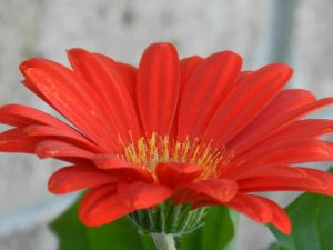 A flower against a blurred background.